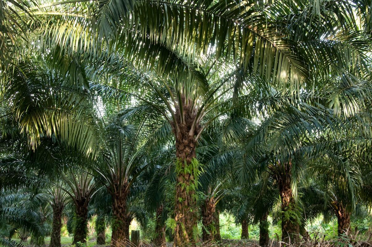 Palmöl, ein ökologisches Risiko